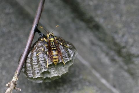 キアシナガバチ背正面s .jpg