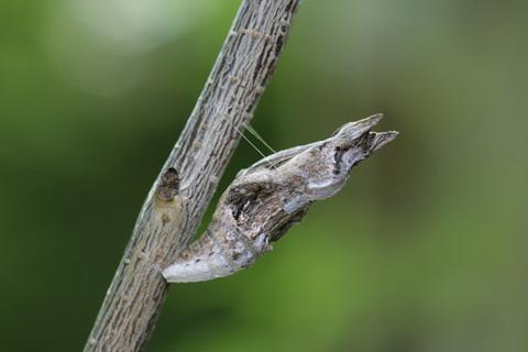 クロアゲハ蛹S.jpg