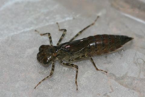 ヤブヤンマ幼虫s1955.jpg