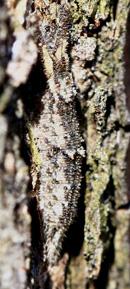 コムラサキ幼虫cs.jpg