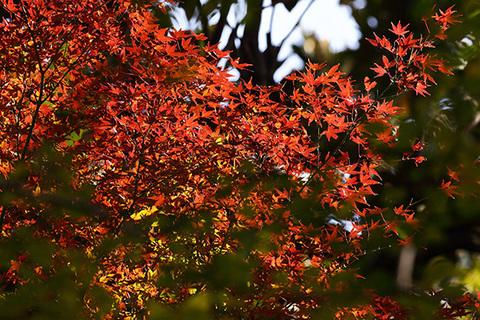 イロハモミジ紅葉cs.jpg