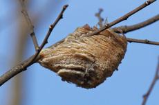 オオカマキリ卵鞘s.jpg