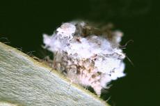 クサカゲロウ幼虫2184s.jpg