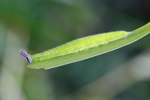 クロコノマチョウ幼虫s3741.jpg