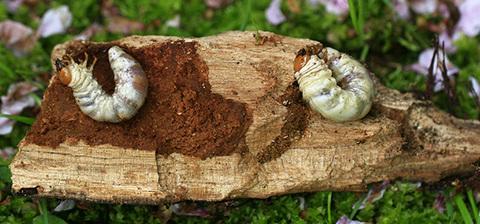 クワガタの幼虫3937s.jpg