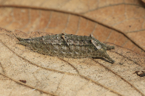 ゴマダラチョウ幼虫2389s.jpg