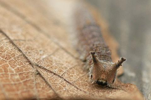 ゴマダラ幼虫4678s.jpg
