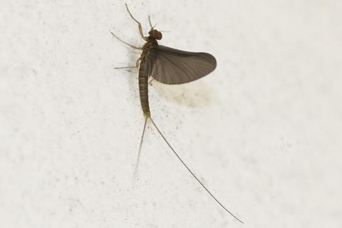 コカゲロウsp.亜成虫2267cs.jpg