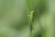 コバネイナゴ幼虫0082cs.jpg