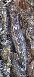 コムラサキ越冬幼虫たてcs6803.jpg