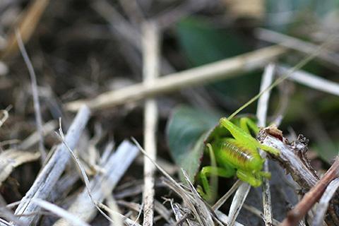 コロギス幼虫隠れる4302s.jpg