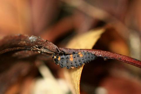 ナナホシテントウ幼虫7662s.jpg