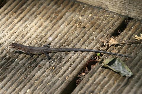 ニホンカナヘビ幼体5335s.jpg