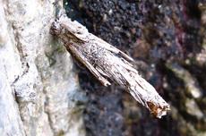 ネグロミノガ幼虫空き蓑s.jpg