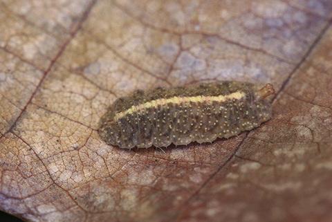 ハナアブのなかま幼虫4410s.jpg