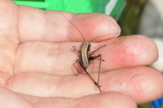 ヒメギス幼虫12056.jpg