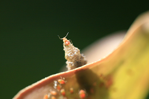 ヒラタアブ幼虫アブラムシ捕食1109s.jpg