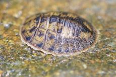 ヒラタドロムシ幼虫0086.jpg
