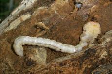 ヤマトタマムシ幼虫s.jpg