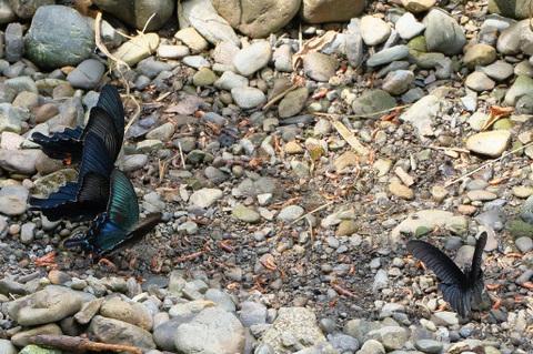 黒いアゲハ3種吸水05096.jpg