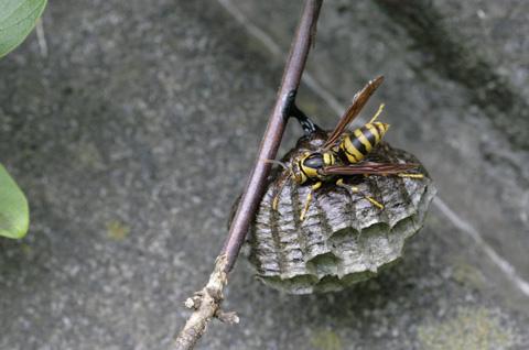 キアシナガバチs .jpg