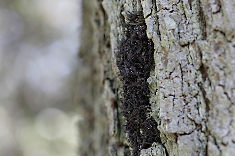ヨコヅナサシガメ幼虫.jpg