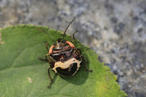 アカスジキンカメムシ幼虫3932s.jpg