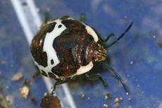 アカスジキンカメムシ幼虫6000s.jpg