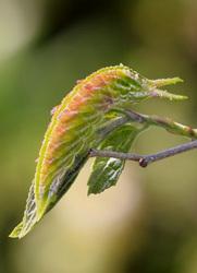 アカボシゴマダラ幼虫8328.jpg