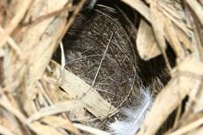 ウグイスの巣の中1523s.jpg