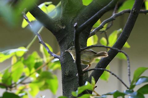 ウグイス幼鳥1253cs.jpg