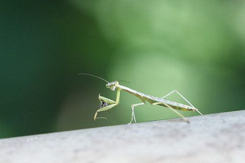 オオカマキリ幼虫0185s.jpg