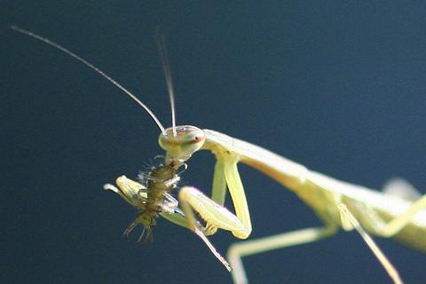 オオカマキリ幼虫0192sjpg