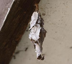 オオミノガ幼虫00622ss.jpg