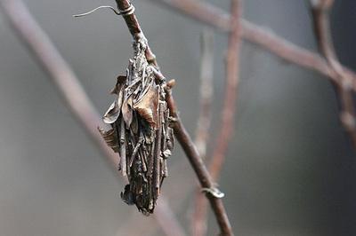 オオミノガ幼虫0466s.jpg