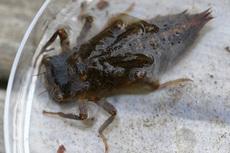 オニヤンマ幼虫4681s.jpg