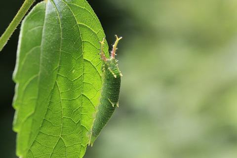 ゴマダラチョウ幼虫9677s.jpg