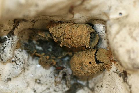 コウライクモカリバチ空き巣3723s.jpg