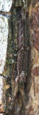 コムラサキ幼虫4111ss.jpg