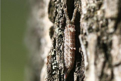 コムラサキ幼虫4810s.jpg