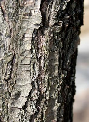 コムラサキ越冬幼虫�A2977cs.jpg