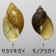 サカマキガイ・モノアラガイcs.jpg