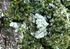 シラホシコヤガ幼虫8408s.jpg