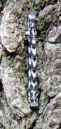 シロスジシマコヤガ幼虫s.jpg