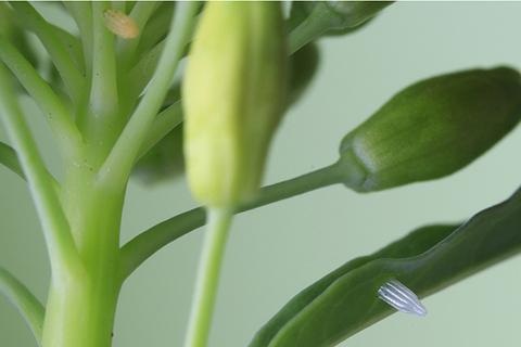 ツマキチョウ卵×2・2988cs.jpg