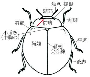 テントウムシ型の身体のつくりs.jpg