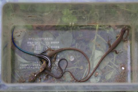 トカゲ・カナヘビ0244^.jpg