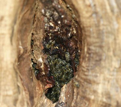 ニホンミツバチ0105s.jpg