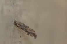 ネグロミノガ幼虫3971s.JPG