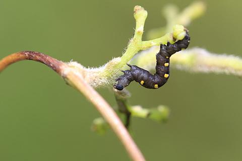 ヒメエグリバ幼虫12mm0648s.jpg